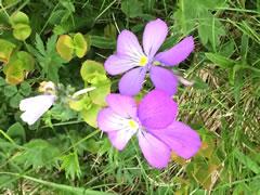 alpine-violettas